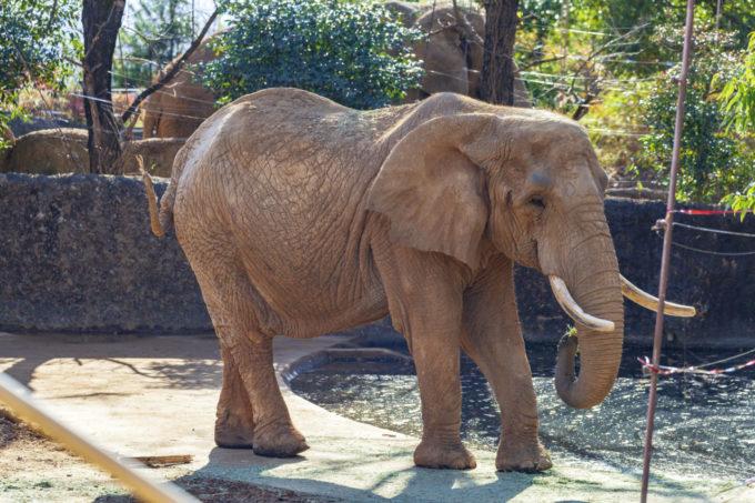 仙台市八木山動物公園のゾウ