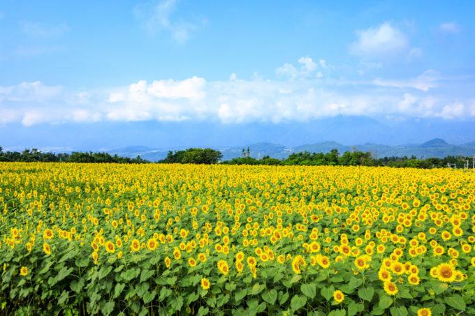 ハイジの村のひまわり畑