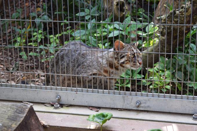 九十九島動植物園森きららのツシマヤマネコ