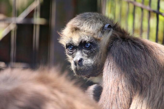 宮崎市フェニックス自然動物園のジェフロイクモザル