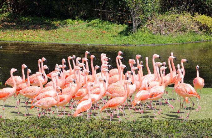 宮崎市フェニックス自然動物園のフラミンゴ