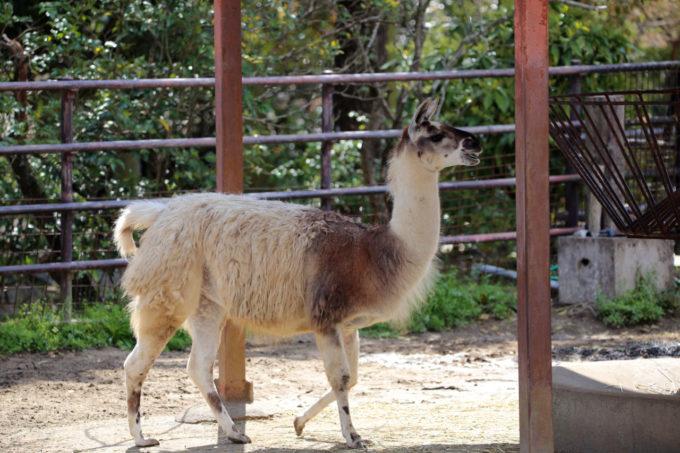 宮崎市フェニックス自然動物園のラマ