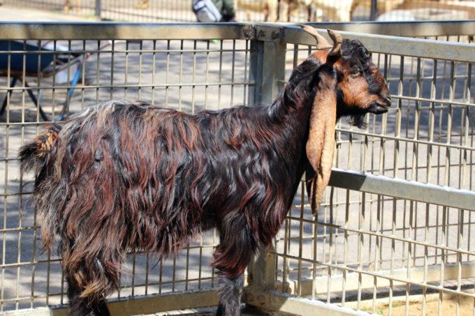 宮崎市フェニックス自然動物園のミミナガヤギ