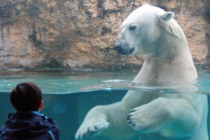 のんほいパーク(豊橋総合動植物公園)のシロクマ