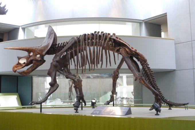 のんほいパーク(豊橋総合動植物公園)のトリケラトプスの化石