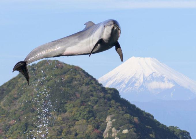 あわしまマリンパークのイルカと富士山