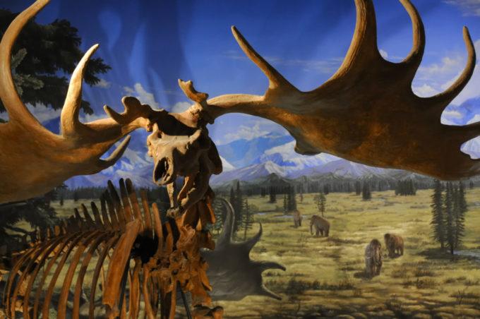 ギガンテウスオオツノジカの化石