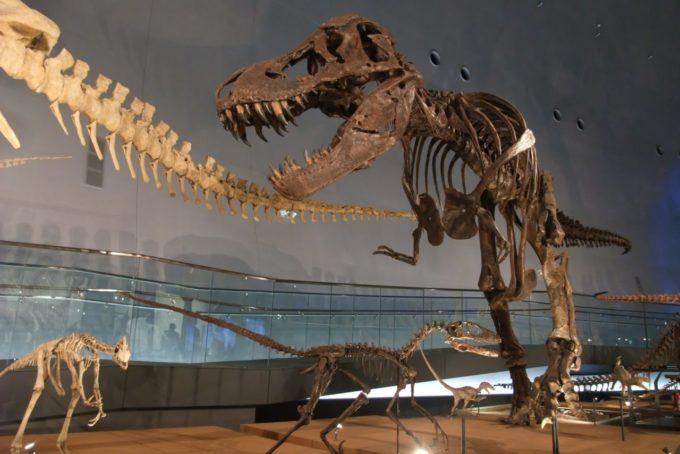 福井県立恐竜博物館にあるティラノサウルスの化石