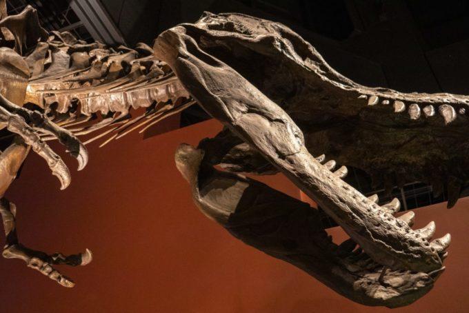 ミュージアムパーク茨城県自然博物館にある恐竜の化石