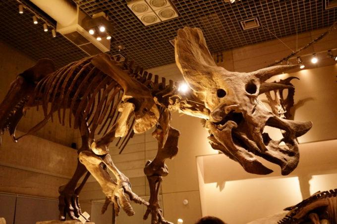 国立科学博物館にあるトリケラトプスの化石