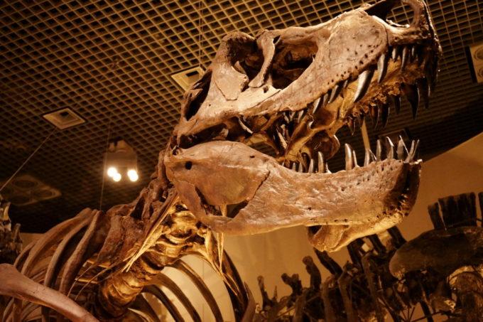 国立科学博物館にあるティラノサウルスの化石