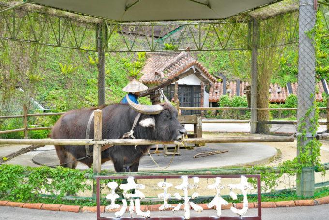 琉球村の水牛