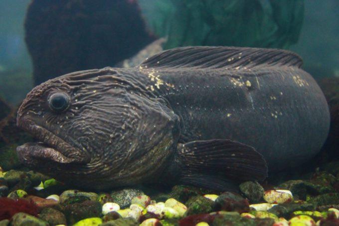 サンピアザ水族館のオオカミウオ