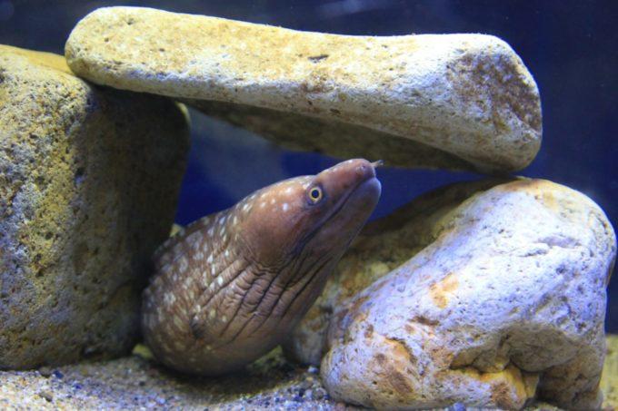 サンピアザ水族館のウツボ