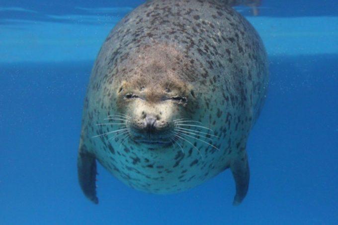 サンピアザ水族館のゴマアザラシ