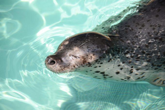 魚津水族館のゴマアザラシ
