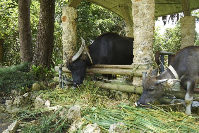 ビオスの丘の水牛