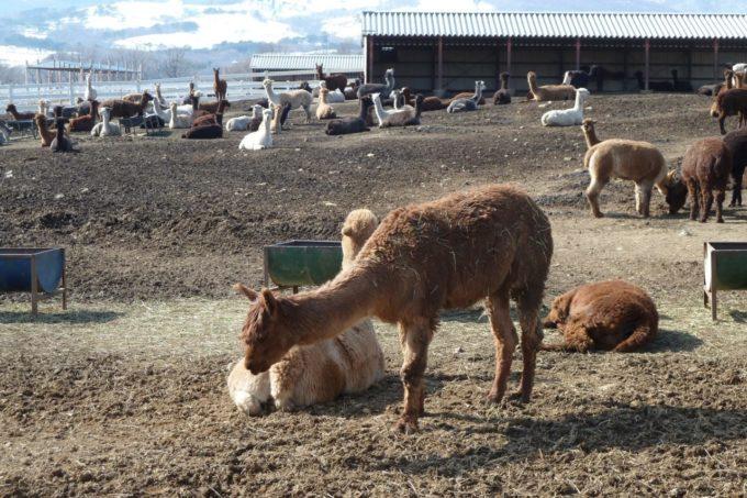 那須アルパカ牧場のアルパカ