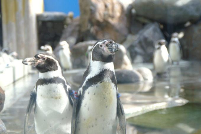 蓼科アミューズメント水族館のペンギン