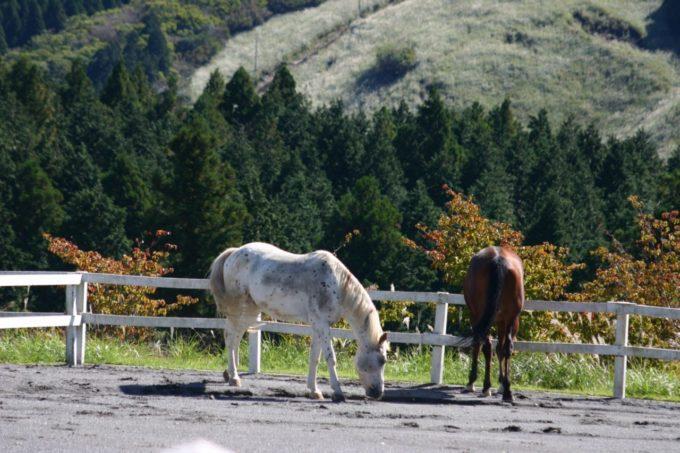 富士山こどもの国の馬