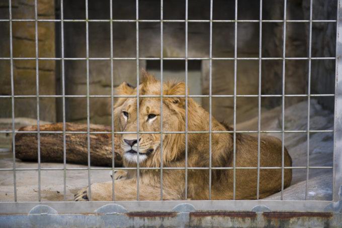 沖縄こどもの国のライオン