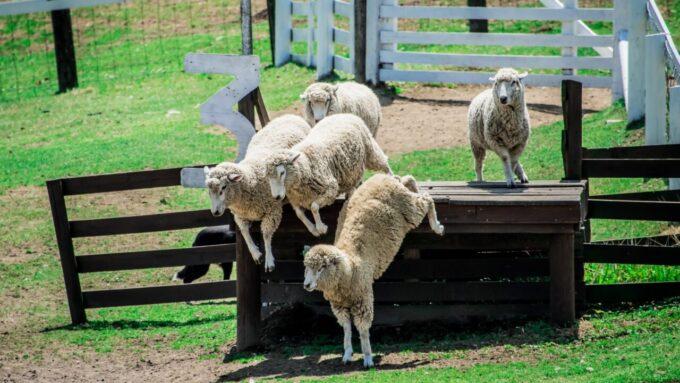 伊香保グリーン牧場の羊(ひつじ)