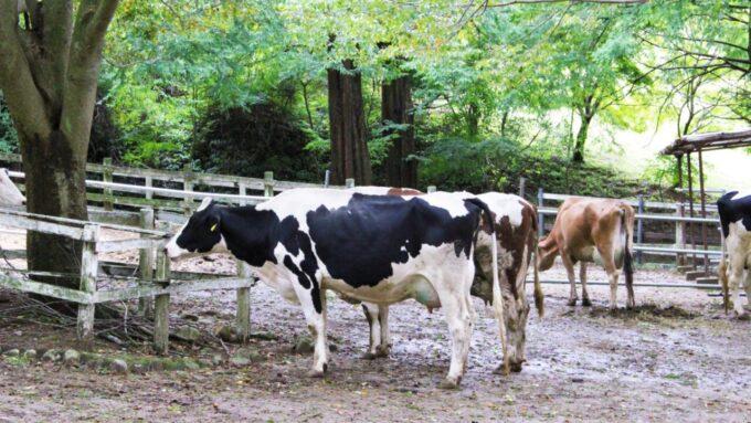 神戸市立六甲山牧場の牛