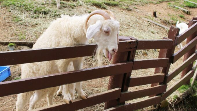神戸市立六甲山牧場のヤギ